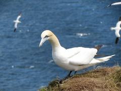 Gannet, Bempton Cliffs, Yorkshire (robin denton) Tags: bird birds yorkshire gannet morusbassanus rspb bempton