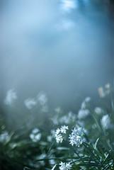 Narcissus (marie_platz) Tags: flower japan tokyo shinjuku narcissus