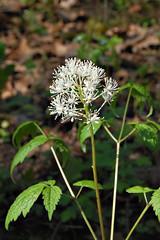 Red Baneberry (pchgorman) Tags: flowers white wisconsin may prairies ranunculaceae oddshaped redbaneberry actaearubra actaea wfgna danecounty taxonomy:binomial=actaearubra stewartcountypark