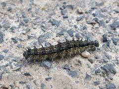 groe und kleine Tiere in der Eifel (mama knipst!) Tags: animal natur eifel caterpillar tier raupe