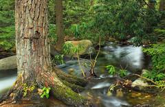 Jeans Run Gorge (7) (Nicholas_T) Tags: trees creek forest moss spring rocks stream hiking pennsylvania rhododendron cascades creativecommons ravine trunks riparian hemlocks carboncounty understory tsugacanadensis easternhemlocks jeansrun stategamelands141 stategameland141 sgl141