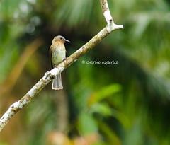 Visayan Bulbul (----- ^ _ ^ ------) Tags: wild birds lakes twin dumaguete oriental negros philippine bulbul visayan balinsasayao