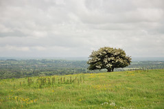 DSC_4857 [ps] - May Your Days Be Merry & Bright (Anyhoo) Tags: uk england tree field grass clouds landscape sussex countryside spring view westsussex cloudy blossom horizon farming may meadow overcast pasture lone flowering agriculture southdowns hawthorn distant amberley southdownsway mayblossom anyhoo gerrywalk photobyanyhoo
