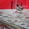 the daily commute (auketts) Tags: red london duck theatre southbank mallard nationaltheatre redshed mywalktowork dancingduck theshedtheatre