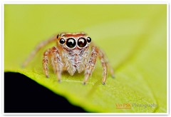 Little Girl With Big Eyes (Vin PSK) Tags: macro closeup bigeyes spider eyes littlegirl jumper jumpingspider