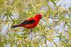 _53F9382 Scarlet Tanager (~ Michaela Sagatova ~) Tags: red ontario male dundas scarlettanager songbird pirangaolivacea dvca michaelafotheringham michaelasagatova