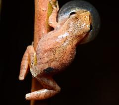 Spring Peeper calling (nikomelos) Tags: frog frogs amphibians pseudacriscrucifer springpeepers njwildlife njfrogs