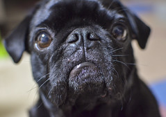Give me a kiss (e_haya) Tags: pug nikond7000