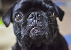 Give me a kiss。 (e_haya) Tags: pug nikond7000