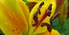 ( Bo ) Tags: flower macro garden lily bokeh stamens canong16