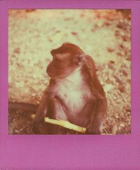 Monkey (charlimero) Tags: color analog polaroid monkey philippines stick slr680 negros roidweek colorframe theimpossibleproject color600 colorprotection roidweek2014
