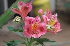 Astromelias de Mam (T o r n a s o l a r ) Tags: chile flowers naturaleza flower primavera nature flora flor campo quilpue astromelia