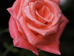 (Ricardo Cosmo) Tags: autumn flower rain rose closeup lluvia flor chuva rosa otoo outono mft ricardocosmo olympusepl1 mzuikodigital1442mm