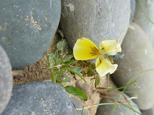 SeaSide Pansy walney