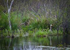 Great Blue Heron at Raymond Marsh (hickamorehackamore) Tags: heron spring nikon connecticut may ct greatblueheron hebron 2014 ardeaherodias gbh airlinetrail amston raymondmarsh d7000