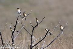 White-rumped Tanager, bandoleta (eisenrupp) Tags: minas gerais birding aves da brazilian cerrado serra canastra merganser patomergulhão