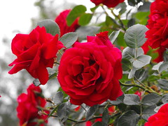 Red roses (Stella VM) Tags: flowers red roses flower colour rose garden redrose redroses