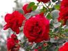 Red roses (Stella VM) Tags: flowers red roses flower colour rose garden redrose redroses роза цвят цветя цвете рози червена