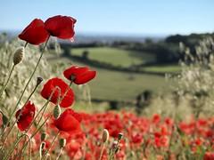 (ShelleyCorinne) Tags: landscape sussex olympus poppy fields olympuspen poppyfields manualfocus micro43 45200mm olympusepl1
