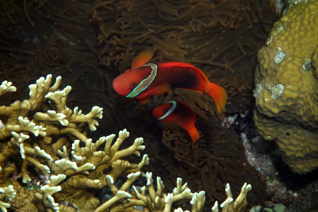 Image of: Examples Tomato Clownfish Amphiprion Frenatus Brevoort 1856 misenus1 Tags Okinawa Japan Fish Deep Sea Waters The Worlds Best Photos Of Japan And Taxonomykingdomu003danimalia
