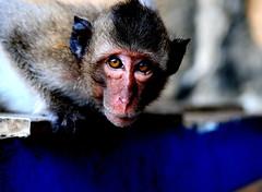 ,, Wildlife ,, (Jon in Thailand) Tags: blue catchycolors monkey eyes nikon asia wildlife jungle nikkor primate d300 wildlifephotography 175528