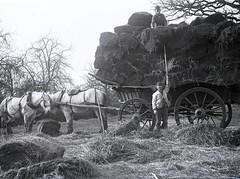 H00526 Hay wagon c.1890 (East Sussex Libraries Historical Photos) Tags: trees horses field country farmer hastings hay 1890 farmhand haywagon glassplatenegative georgewoodscollection