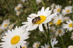 Margerite mit Fliege (hubert_hamacher) Tags: blumen fliege margerite margeriten