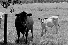 07 02 2014 Day 183 (John Ilko) Tags: field cow blackwhite cattle beef pasture fujifilm fl palmetto xe2