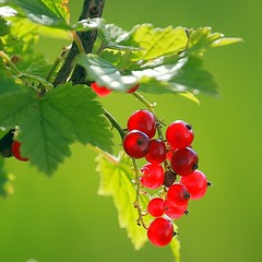 Summer! Red currant. (Margo, just Margo ...) Tags: thumbsup favescontestwinner