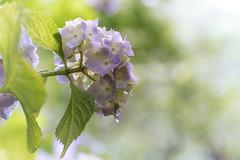 08062014_hydrangea with raindrop (Chicaco11) Tags: macro japan 50mm tokyo sigma panasonic アジサイ f28 raindrop 紫陽花 あじさい 京王百草園 chicaco11 dmcgx7