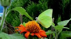 BUTTERFLY (Nirmal Deka Boruah) Tags: flower butterfly assam guwahati sbi topshots natureplus photosandcalendar natureselegantshots flickrflorescloseupmacros panoramafotográfico thebestofmimamorsgroups greatshotss faunayfloradelmundo flickrsportal flickrportal tiloinagar nirmaldekabaruah
