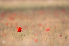 Sortir du lot (photosenvrac) Tags: nature rouge bokeh culture champ coquelicot beauce bl orge cereale thierryduchamp