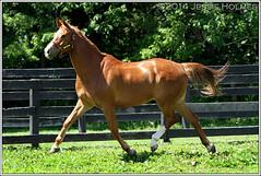 Loudoun (Spruceton Spook) Tags: horses kentucky chestnut louisville loudoun