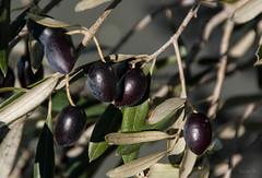Harvest Time (Jocey K) Tags: newzealand leaves canterbury hills winery olives southisland olivetree waiparavalley terraceedgevineyardandolivegrove