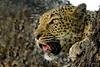 DSC_2237 (Arno Meintjes Wildlife) Tags: africa southafrica wildlife safari leopard predator krugerpark arnomeintjes