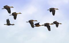 Fulvous Whistling Ducks (Randy E. Crisp) Tags: macro birds arlington canon landscape dallas nikon texas wildlife flash 14 100mm irving 16 20 ftworth fullframe 13 extender 400mm northtexas 550d 1d4 560mm t2i villagecreekdryingbeds 5d2 5dii vcdb fulvousducks 1dmkiv 1dmk4 randyecrispphotography randycrisp randyecrisp