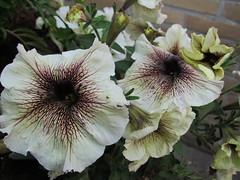 Mooi ge-aderde bloemen. (Arthur-A) Tags: flowers white netherlands fleurs nederland wit bloemen bloem
