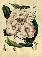 Mandevilla splendens - circa 1845 (Swallowtail Garden Seeds) Tags: red plants white flower illustration botanical vine climbing tropical pinkl botany santarosa mandevilla climbers floweringvine swallowtailgardenseeds