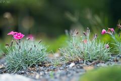 DSCF4676 (Patrick Mouret) Tags: flowers fujixpro1 fujinonxf56mmf12r