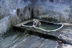 Tiger (Achala Photography) Tags: animal 動物 동물 动物 achala حيوان rajapaksha haiwan животное สัตว์ விலங்கு पशु পশু සත්තු