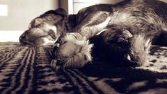 Paws & Rugs (Kenneth Wesley Earley) Tags: bw pet sepia paw bedroom spokane handmade sleep rug paws sprint spokanewa htc sleepingdog bokhara 99201 99205 htcone htconem8