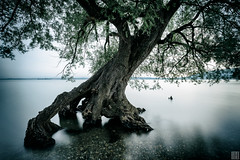 the tint tree (gregor H) Tags: longexposure morning shadow reflection tree water silhouette austria österreich aqua branches dreaming shape bodensee dreamscape asymmetric blueandgreen carlzeiss vorarlberg distagont3518
