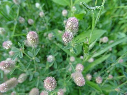 Trifolium arvense - Hasen-Klee , NGID1381742758