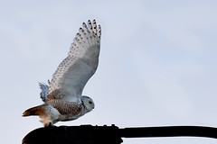 Harfang des neiges --- Snowy owl --- Búho del Ártico (Jacques Sauvé) Tags: harfang des neiges snowy owl búho del ártico ave oiseau