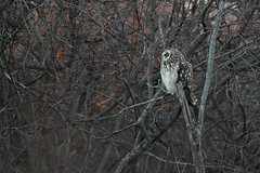 Short eared owl in the wild.Orange colour in the background is the setting sun casting light on the trees. (Mel Diotte) Tags: short eared owl wild