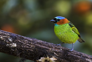 Red-necked Tanager (female)