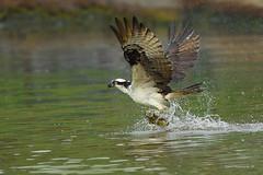 Ahh, gonna eat good today.. (Earl Reinink) Tags: earl reinink earlreinink niagara ontario canada nikon nature naturephotography raptor fish catfish osprey bird birdphotography uoadzdedra