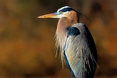 Great Blue Heron (Explored) (dianne_stankiewicz) Tags: coth5 nature wildlife heron gbh greatblueheron bird feathers profile