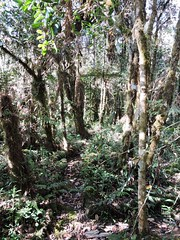 forest trail at kumul lodge (Pete Read) Tags: forest trail kumul lodge papau new guinea
