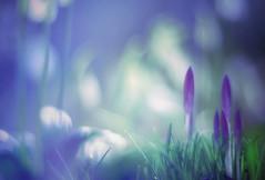 Beautiful spring greetings (evibaumann) Tags: spring frühling krokus bayern fujixt10 fuji helios402 blume surreal